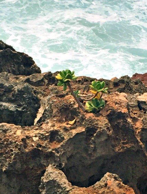sedum in rocks 2